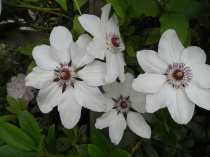 Garden, Clematis, Glengarry, B&B, Kingussie, Highlands, Inverness, plants