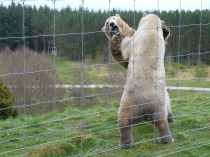 Polar Bears, Wildlife Park, Kincraig, Walker, Arktos, B&B, Accommodation, Kingussie, Highlands, Inverness