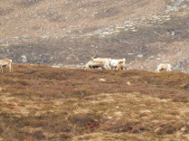 Reindeer, Cairngorm, Mountains, Aviemore, B&B, Glengarry