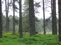 Deer, Pine, Forests, Rothiemurchus, Wildlife, Glengarry, B&B