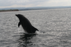 Dolphins, Moray firth, Wildlife, Kingussie, B&B, Glengarry