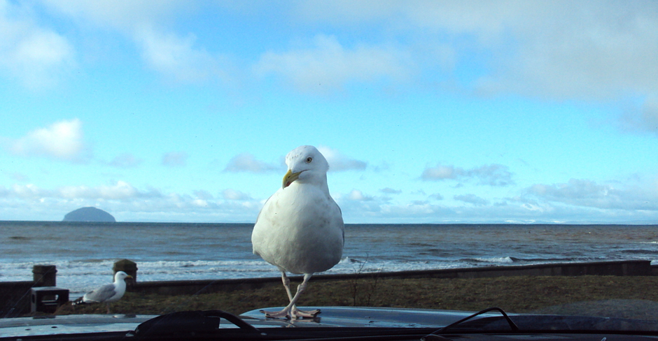 A very relaxed seagull overlooking Ailsa Craig