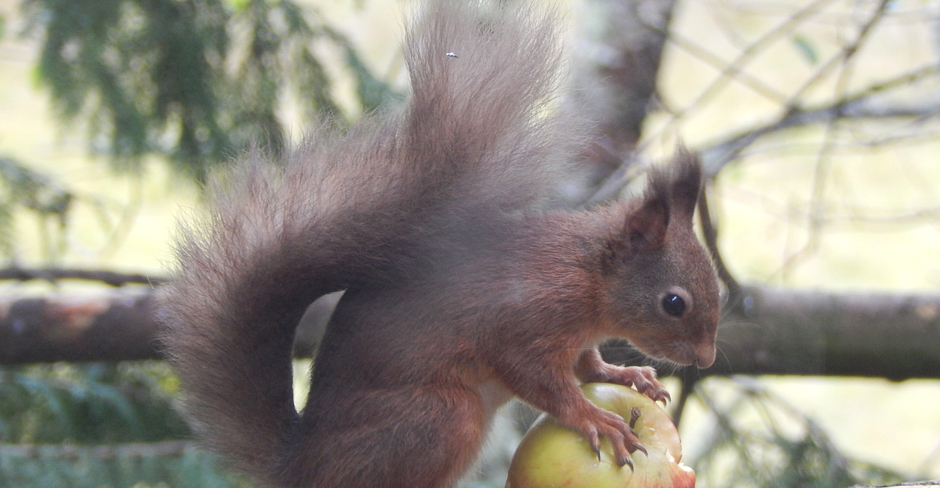 Red Squirrels, Inshriach, Wildlife, Kingussie, B&B, Glengarry